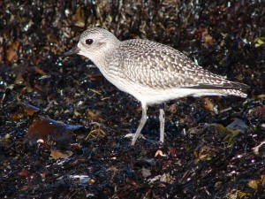Black-bellied Plover - Steve Miousse