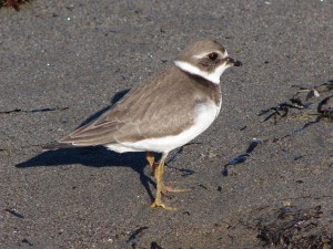 Semipalmated Plover - Steve Miousse