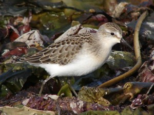 Semipalmated Sandpiper - Steve Miousse