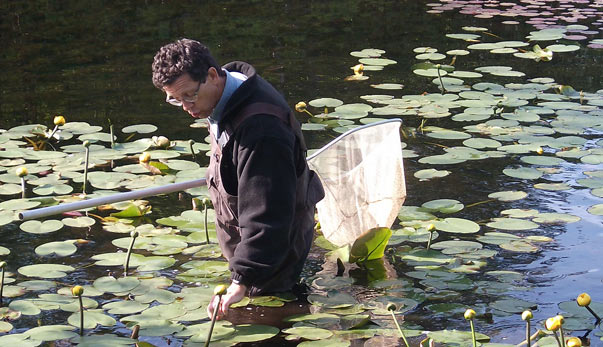A man wading through a lily pond