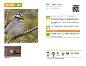 speciesinfo_white-throated-sparrow-page-001