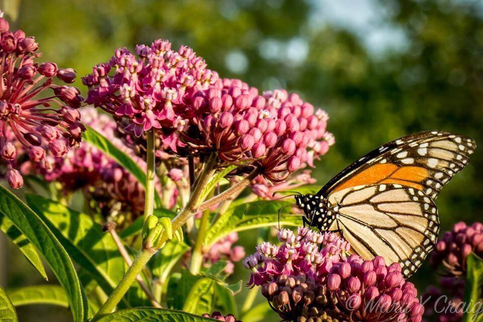 A monarch butterfly is perched on a milkweed blossom.