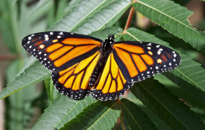 A monarch butterfly sits on a leaf.