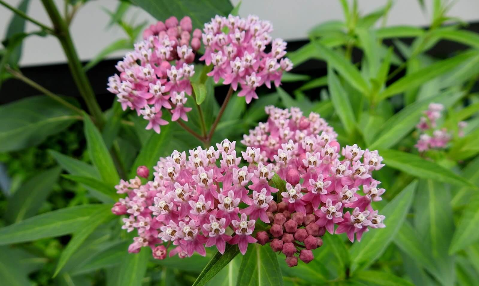 A photo of swamp milkweed in bloom.