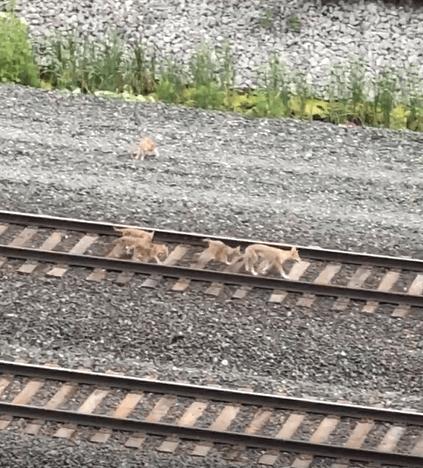 Coyotes in Toronto / Les coyotes à Toronto