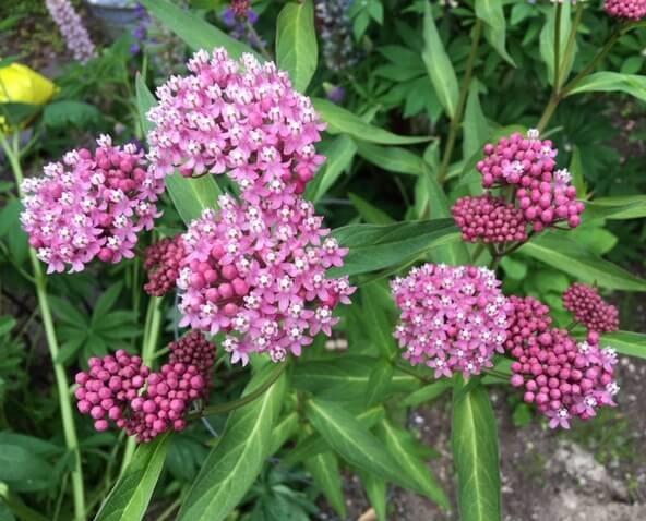 Swamp Milkweed / Asclépiade incarnate