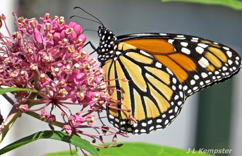 Monarch Butterfly / Papillon monarque - Janet Kempster