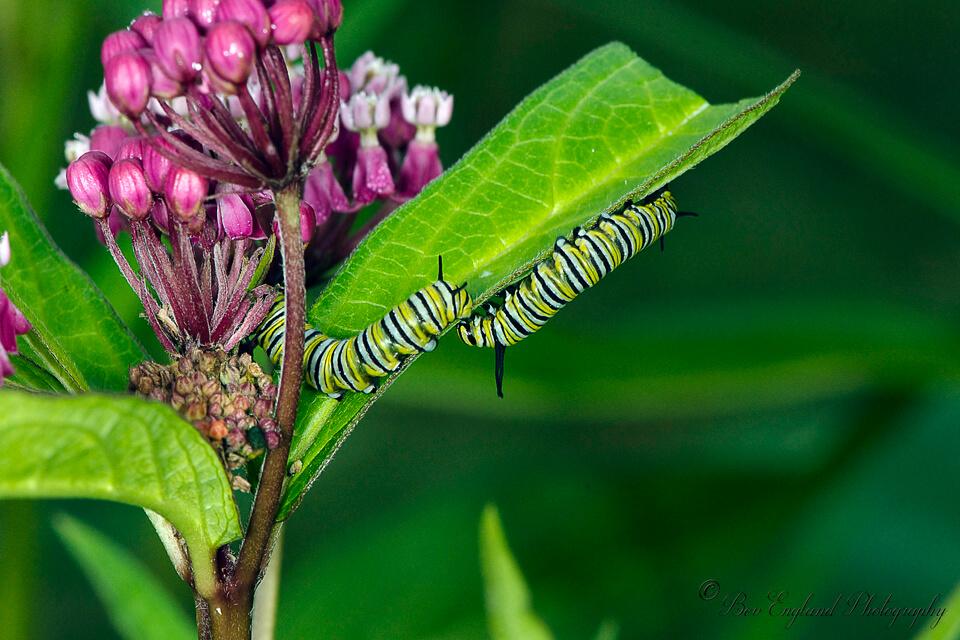 Monarch caterpillar / Chenille de monarque