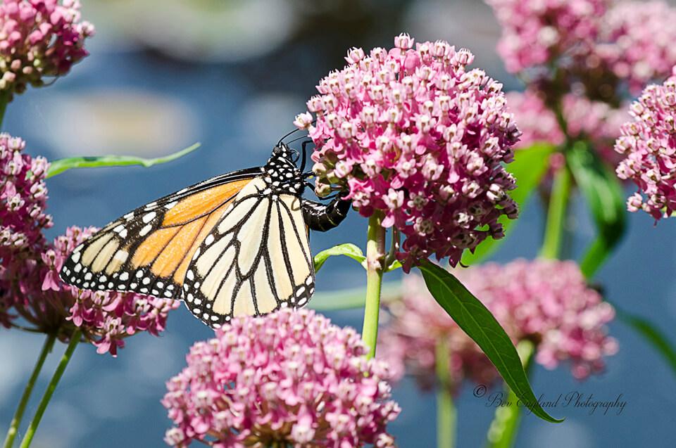 Monarch Butterfly / Papillon monarque