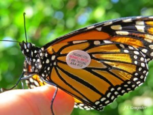 A monarch sits on a person's finger. The monarch has a small, circular tag on its wing.