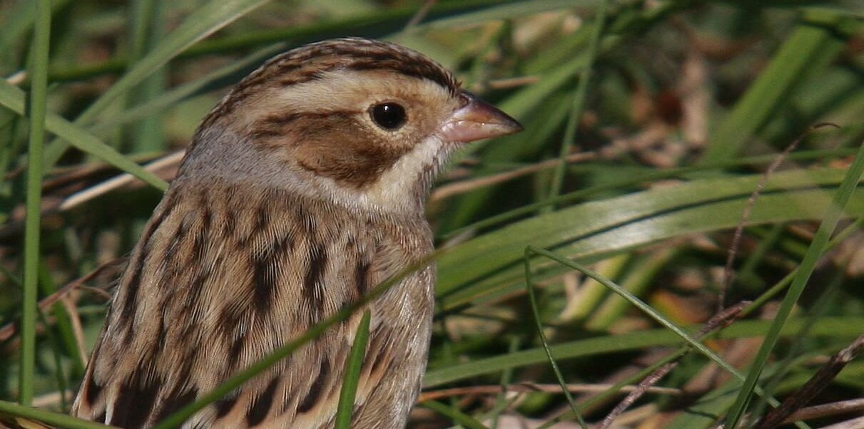 Clay-coloured Sparrow by Jim Wilson
